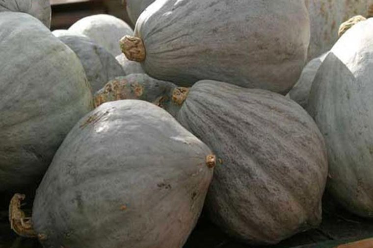pumpkin_bluehubbardopt